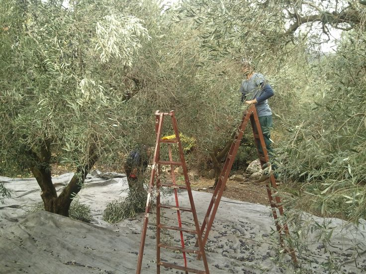 Harvest olives, with our hands.