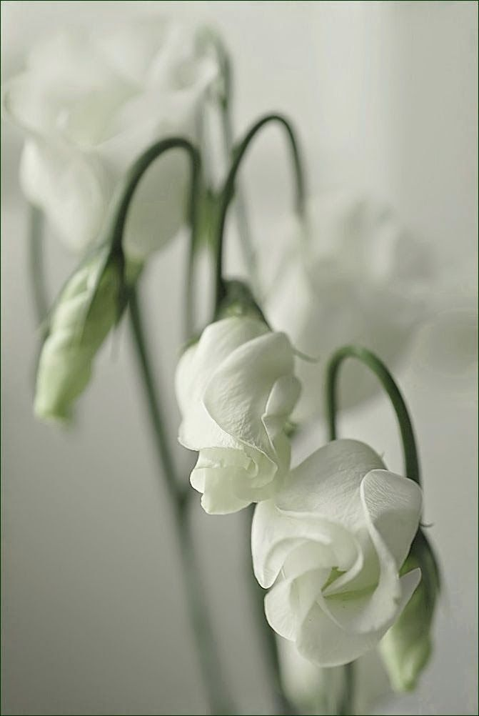 Waiting For the Good News, White Lisianthus