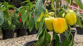 Ob im Topf oder im Garten: Paprikapflanzen können ins Freie, wenn es keine Nachtfröste mehr gibt. (Quelle: Thinkstock by Getty-Images)