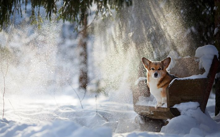 Download wallpapers Pembroke Welsh Corgi, winter, pets, park, dogs, Welsh Corgi Dog, Corgi