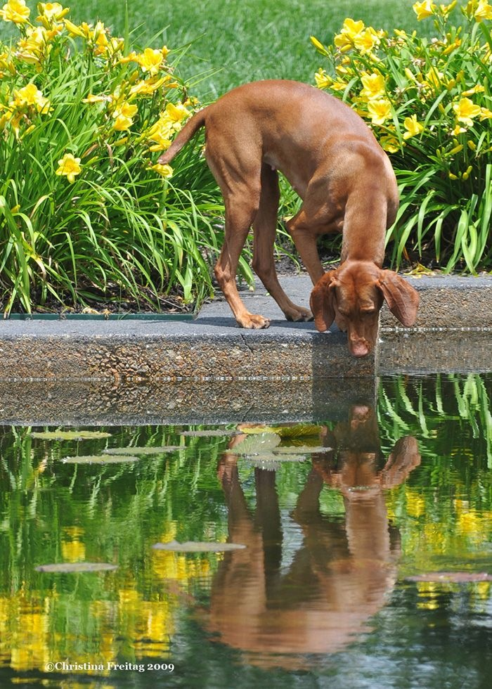 Oooh, what is that?! #Vizsla