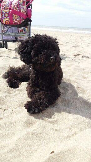 Black Maltipoo pup