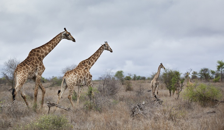 Giraffe family in the Kruger National Park