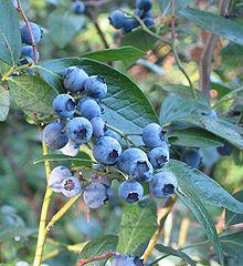 Highbush Blueberry (Vaccinium corymbosum): Native.  6' - 12' tall.  Turns red in the fall.  Wants acidic soil.