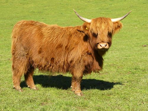 Miniature Highland Cattle for Sale | Females sold as incalf will be vetted as such before delivery