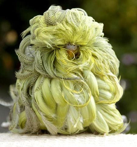 """Whipper"" is a mutant parakeet with long curly feathers. ...Watch video:)"
