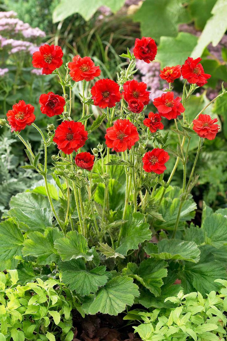 July Plant of the Month Geum Formal garden design