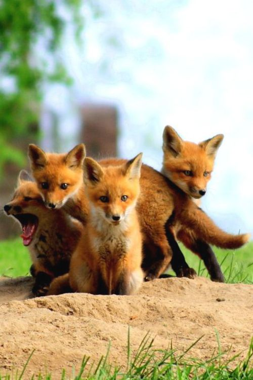 Pack of young foxes                                                                                                                                                                                 Plus