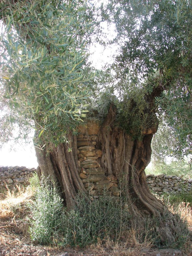 Otro gran olivo en las inmediaciones de la Mina Marialina en Peraleda de San Román, en la parte de Las Villuercas que llamamos La Jara, Cáceres
