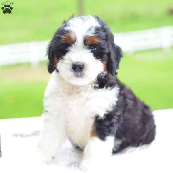 Callie Mini Bernedoodle Puppy For Sale In Ohio Bernedoodle Puppy Mini Bernedoodle Bernedoodle