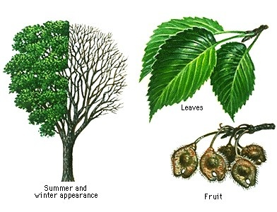 Elm Trees Identification and care with KCArborist.com