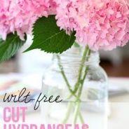 How to Cut Hydrangeas