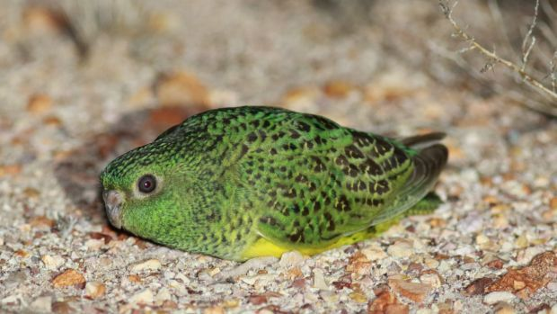 Saving the Night Parrot  Ecologists from Bush Heritage Australia are working to create a safe place for the one-of-a-kind parrot found in Queensland. The field trip to Bush Heritage's Pullen Pullen Reserve in western Queensland between March and June 2016 shed more light on the rare night parrot than any other before it.