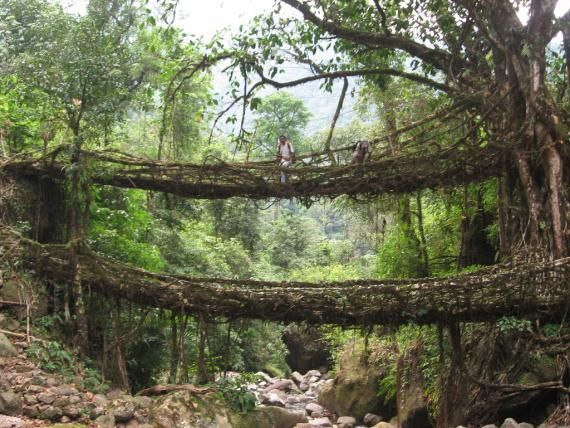 Natural bridge made by the roots of the trees in Cherrapunji, India. Humans doing something good.