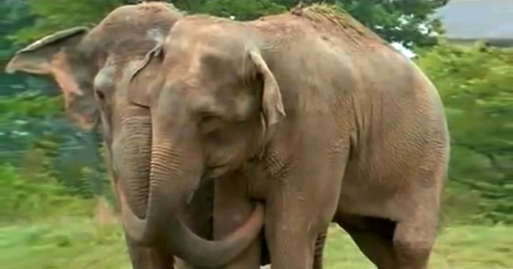 After two decades, two former circus elephants, Jenny and Shirley, are reunited at The Elephant Sanctuary in Tennessee. The reunion is a bittersweet moment for everyone involved. Watch to see the emotional encounter and response of the two friends.