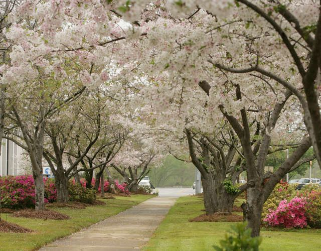 Welcome To Macon Ga Cherry Blossom Capital Of The World Cherry Blossom Cherry Blossom Festival Macon