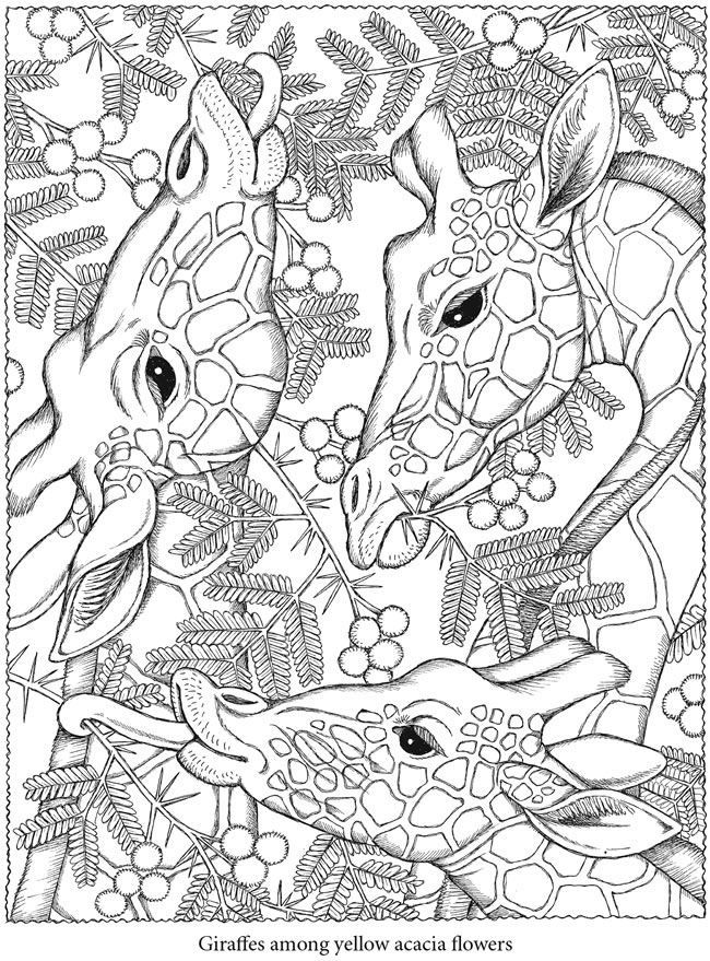 Free Coloring Page Adult Giraffes Heads