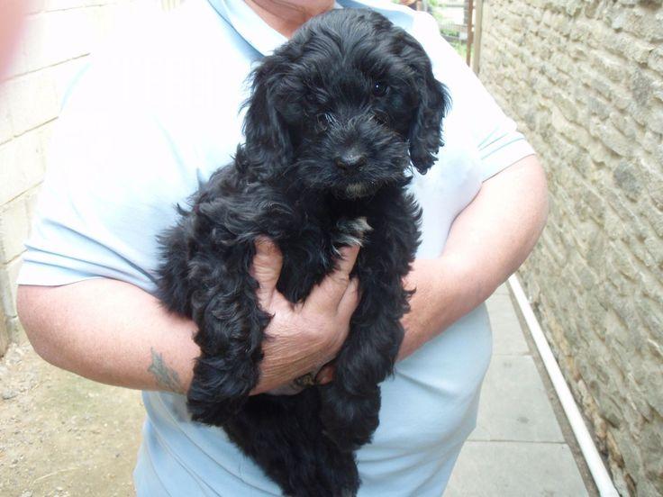 Black Cockapoo Puppies For Sale