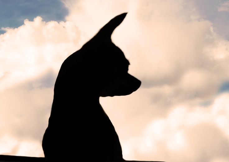 Chihuahua silhouette by Daria M Paus, via 500px