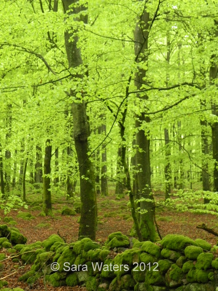 Beech trees in the spring,  Southern Sweden