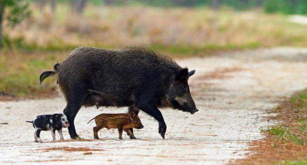Hog Hunting Banned In Florida