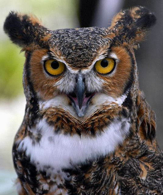 Owl | Owl, Owl pictures, Great horned owl