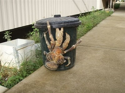 This is the largest land crab called a Coconut Crab.  It is found on the islands across the Indian Ocean and parts of the Pacific Ocean.  It can get up to 3 feet long and weigh up to 9 pounds.  Amazing!