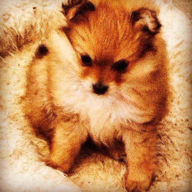 Best Cuby Chubby Adorable Dog - cede69898222880fe0e11561f416199a--pomeranian-animals  Perfect Image Reference_272640  .jpg