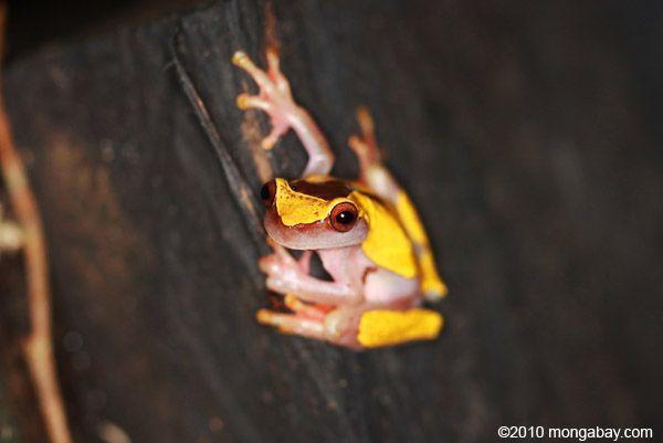 Dendropsophus leucophyllatus #frogs #amphibians #herpetology