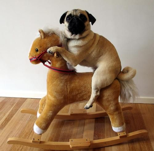 pug on a rocking horse