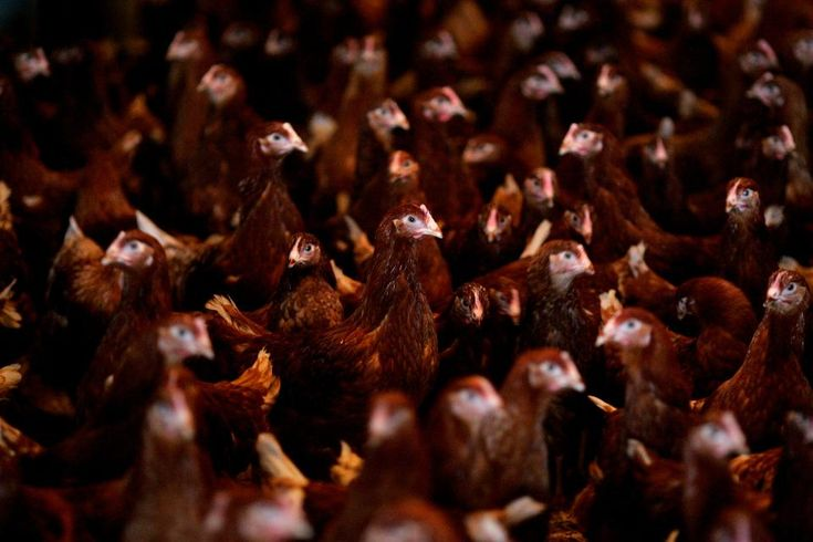 Efforts to Stop Spread of Avian Influenza Ahead of Olympics Fail -  Outbreaks of avian influenza are continuing to occur on factory farms in South Korea despite the killing of more than one million birds - primarily chickens and ducks - ahead of the upcoming Olympics.  https://www.thesun.co.uk/news/5449322/winter-olympics-2018-south-korea-pyeongchang-bird-flu-latest/