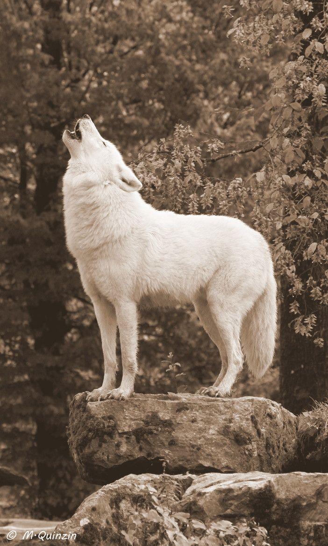 wolf howling full body shot