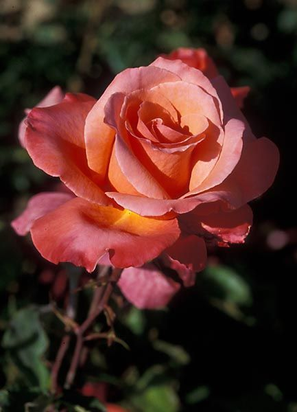Name: Hot Pewter   Synonym: Crucenia   Class: Hybrid Tea Rose (Modern Large Flowered)   Hybridizer/Date: Harkness, England 1978   Parentage: Alec's Red x Red Dandy   Fragrance: Mild   ARS Color: Orange-red and orange-red   Awards: Freiland Silver Medal 1977