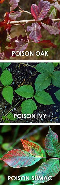 """Watch out for Poison Oak & Ivy - a good guide on """"How to treat and avoid poison ivy, poison oak and poison sumac."""" Show to children so they know what to avoid. www.aaa.com/travel"""