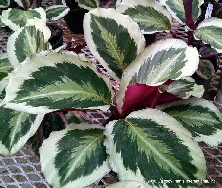 78 besten blumen calathea korbmarathe bilder auf pinterest zimmerpflanzen tropische. Black Bedroom Furniture Sets. Home Design Ideas