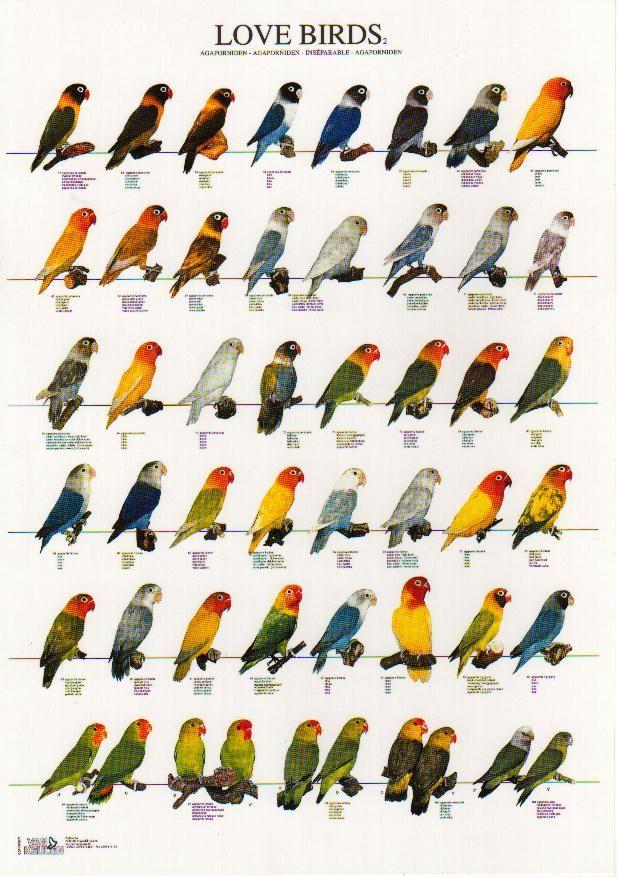 Extraordinary Rings GalleryFemale CockatielLove BirdsHawk Identification ChartLove Bird Color ChartLovebirds Isolated On White Aga Is Fischeri Fischer S LovebirdBattery Life
