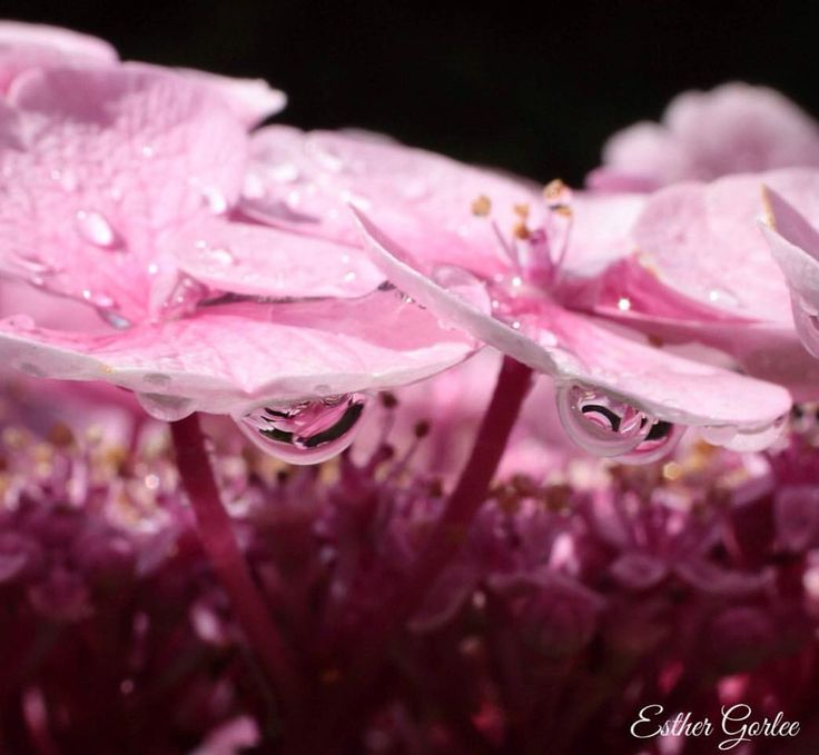 122 vind-ik-leuks, 11 reacties - My first Canon (@my_first_canon) op Instagram: 'And it keeps on raining in Holland ☔️🌸☔️ #photography #canon #hydrangea #flowers #macro #raindrops…'