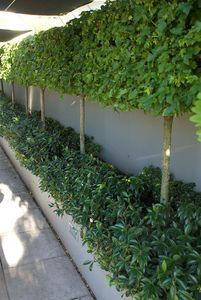 Planting Combinations - Pleached Wall Garden