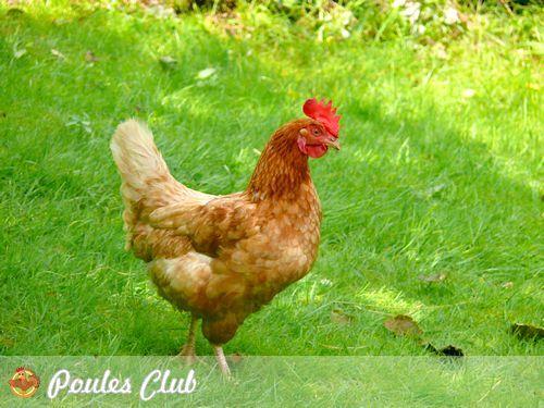Pour tout savoir de la poule rousse encore appelée poule fermière, race si attachante qui évoque nos souvenirs d'enfant. Bonne pondeuse, très rustique, elle a sa place dans votre basse-cour.
