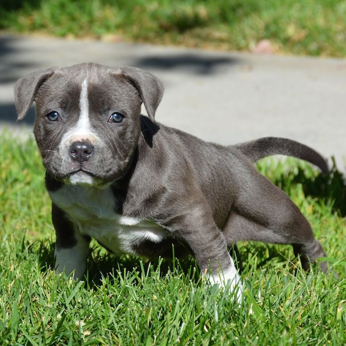 Pitbull Puppies for Sale | Bully Pitbull Pups | Blue Pits