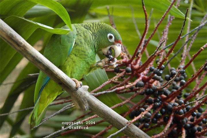 the endangerment of the puerto rican parrot and the need for its conservation Conservation biology 7 (2  producers need not pay  ecology of the small indian mongoose in a coastal dry forest of puerto rico where sympatric with the puerto.