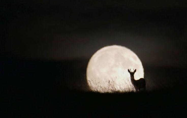 Un grand moment, un chevreuil devant la pleine lune. (Creux du Van, août 2015)