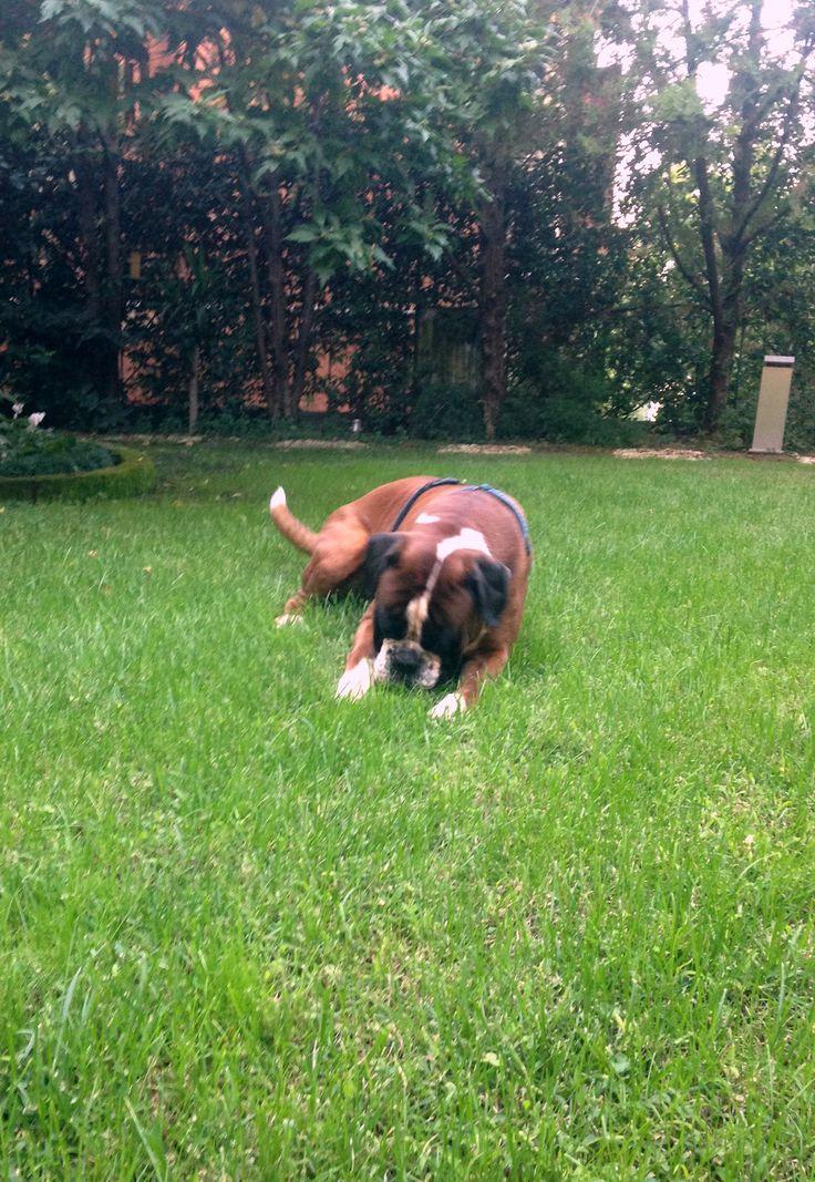 Ben, il boxer amico di Alessia Marcuzzi, ama giocare nel prato e correre all'aria aperta.