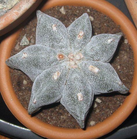 astrophytum myriostigma f. multicostatum