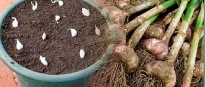Não compre alho nunca mais - plante facilmente alho na sua casa com esta dica! - http://comosefaz.eu/nao-compre-alho-nunca-mais-plante-facilmente-alho-na-sua-casa-com-esta-dica/