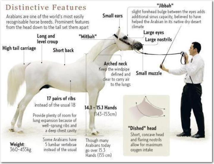 Distinctive features of the Arabian horse. | Arabian ...