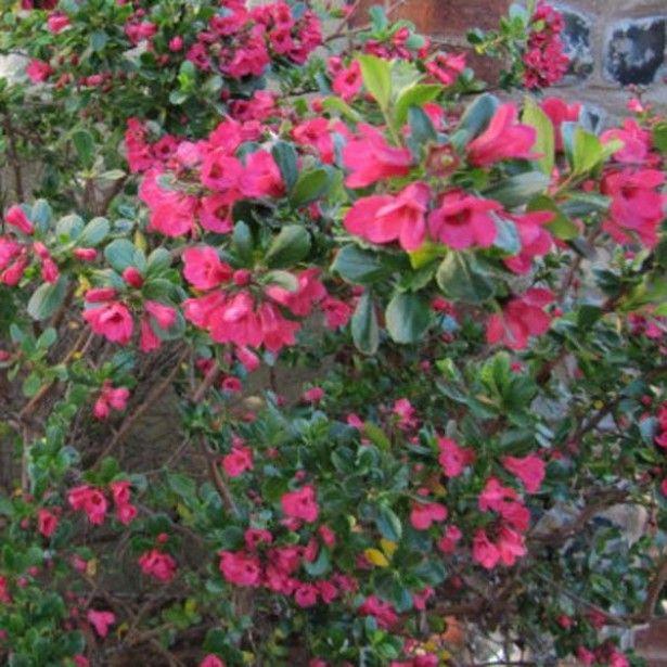 17 meilleures id es propos de arbustes feuillage for Arbuste en anglais