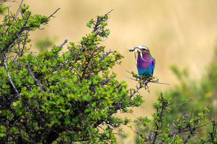 Lilac-breasted Roller by Vishwa Kiran on 500px