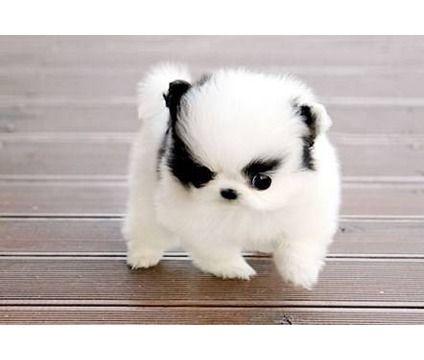 I love teacup puppies!!!