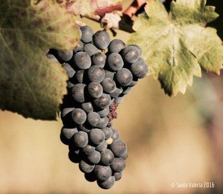 Grapes Wine Zone: Collio Region: Friuli Venezia Giulia Color: Orange Wine